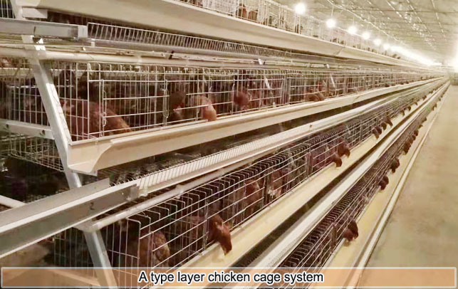 A type layer chicken battery cage system